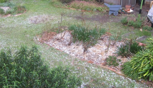 Hail on rose bed