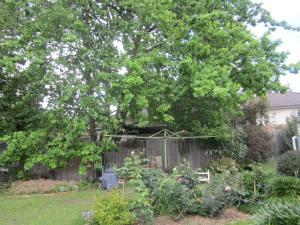 Green grows the Oak