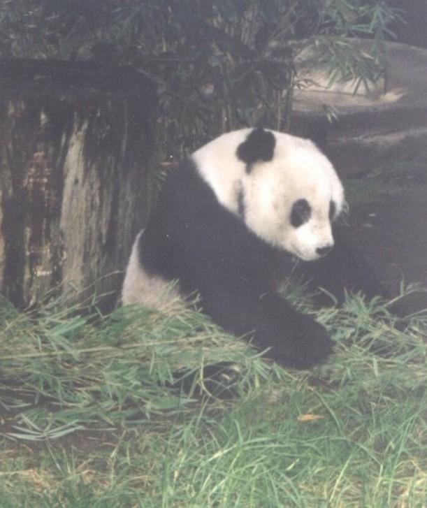 san-diego-2000-panda1