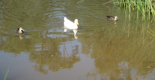 ~ ~ Runner duck and friends anticipating ~ ~