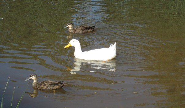 ~ ~ Runner ducks and friends leaving disappointed ~ ~