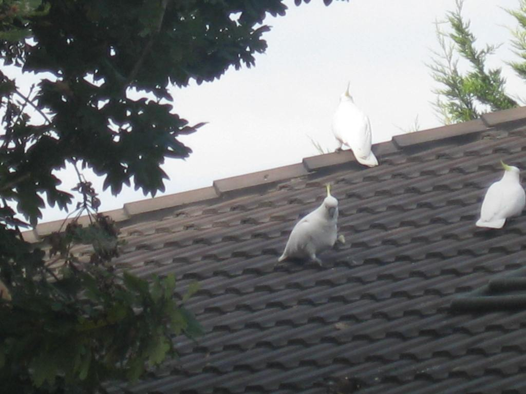 cockies on the roof