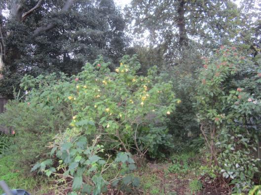 Abutilon shade