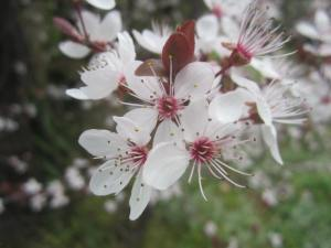 Flowering Prunus