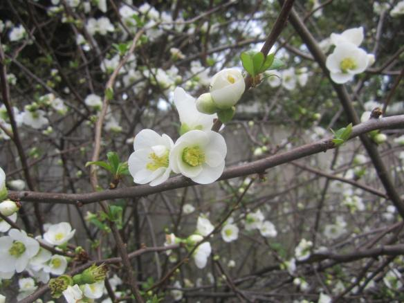 Flowering Quince close up