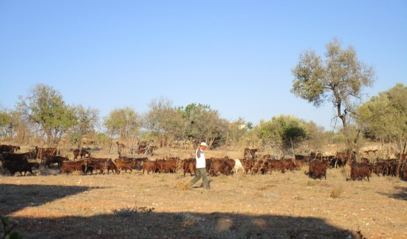 The local goatherd and his flock.  Anarita 2014